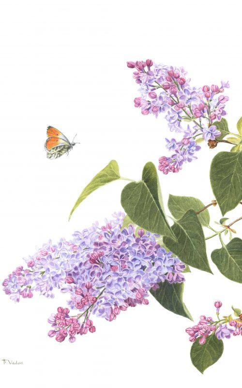 francoise-piquet-vadon-lilas-et-aurore-aquarelle