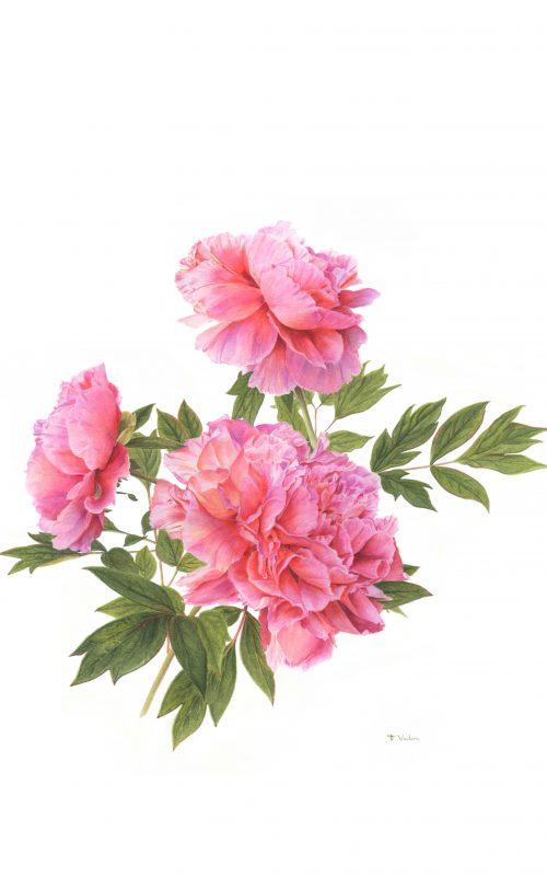francoise-piquet-vadon-pivoine-elisabeth-aquarelle